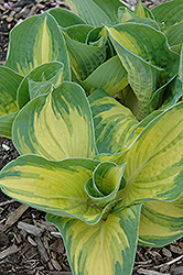 Great Expectations Hosta (Hosta 'Great Expectations') at English Gardens