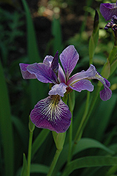 Blue Flag Iris (Iris versicolor) at English Gardens