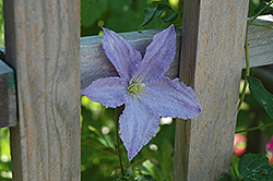 Blue Angel Clematis (Clematis 'Blue Angel') at English Gardens