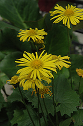 Little Leo Leopard's Bane (Doronicum 'Little Leo') at English Gardens