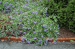Blue Mist Caryopteris (Caryopteris x clandonensis 'Blue Mist') at English Gardens