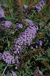 Butterfly Heaven Butterfly Bush (Buddleia davidii 'Butterfly Heaven') at English Gardens