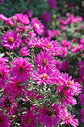Alert Aster (Aster novi-belgii 'Alert') at English Gardens