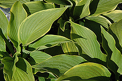 American Icon Hosta (Hosta 'American Icon') at English Gardens