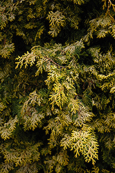 Golden Hinoki Falsecypress (Chamaecyparis obtusa 'Aurea') at English Gardens