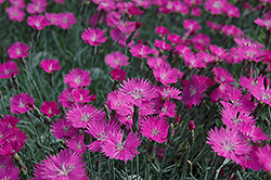 Firewitch Pinks (Dianthus gratianopolitanus 'Firewitch') at English Gardens