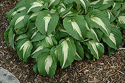 Night Before Christmas Hosta (Hosta 'Night Before Christmas') at English Gardens