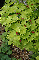 Golden Fullmoon Maple (Acer japonicum 'Aureum') at English Gardens