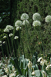 Mount Everest Ornamental Onion (Allium 'Mount Everest') at English Gardens