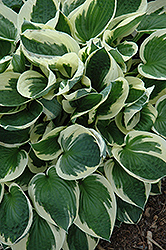 Patriot Hosta (Hosta 'Patriot') at English Gardens