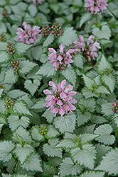 Pink Chablis® Spotted Dead Nettle (Lamium maculatum 'Checkin') at English Gardens