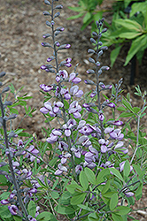 Purple Smoke False Indigo (Baptisia 'Purple Smoke') at English Gardens