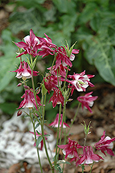 Biedermeier Red And White Columbine (Aquilegia 'Biedermeier Red And White') at English Gardens