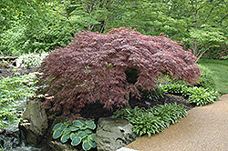 Red Select Japanese Maple (Acer palmatum 'Red Select') at English Gardens