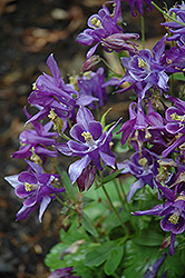 Biedermeier Blue Columbine (Aquilegia 'Biedermeier Blue') at English Gardens