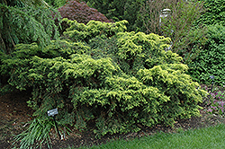 Saybrook Gold Juniper (Juniperus x media 'Saybrook Gold') at English Gardens