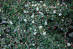 Streib's Findling Cotoneaster (Cotoneaster dammeri 'Streib's Findling') at English Gardens
