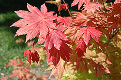 Autumn Moon Full Moon Maple (Acer shirasawanum 'Autumn Moon') at English Gardens