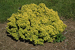 Golden Devine Dwarf Japanese Barberry (Berberis thunbergii 'Golden Devine') at English Gardens