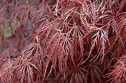 Crimson Queen Japanese Maple (Acer palmatum 'Crimson Queen') at English Gardens