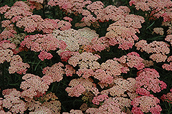 Apricot Delight Yarrow (Achillea millefolium 'Apricot Delight') at English Gardens