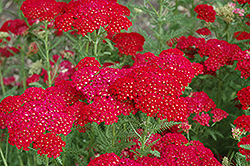 Pomegranate Yarrow (Achillea millefolium 'Pomegranate') at English Gardens