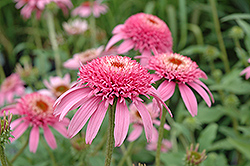 Cone-fections™ Pink Double Delight Coneflower (Echinacea purpurea 'Pink Double Delight') at English Gardens