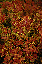 Admiration Japanese Barberry (Berberis thunbergii 'Admiration') at English Gardens