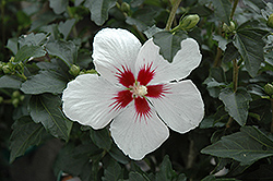 Lil' Kim® Rose of Sharon (Hibiscus syriacus 'Antong Two') at English Gardens