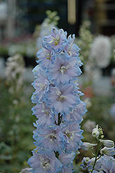 Magic Fountains Sky Blue Larkspur (Delphinium 'Magic Fountains Sky Blue') at English Gardens