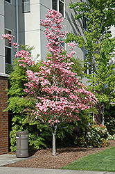 Cherokee Brave Flowering Dogwood (Cornus florida 'Cherokee Brave') at English Gardens