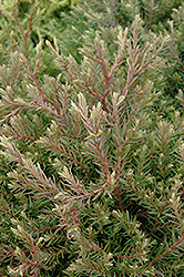 Heatherbun Whitecedar (Chamaecyparis thyoides 'Heatherbun') at English Gardens