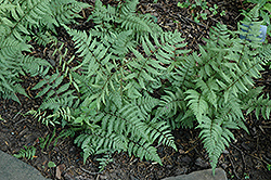 Branford Beauty Fern (Athyrium 'Branford Beauty') at English Gardens