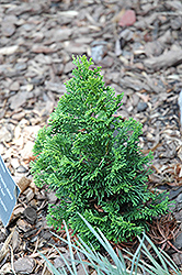 Little Ann Hinoki Falsecypress (Chamaecyparis obtusa 'Little Ann') at English Gardens