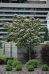 Flowering Dogwood (Cornus florida) at English Gardens