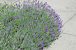 Munstead Lavender (Lavandula angustifolia 'Munstead') at English Gardens