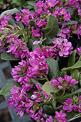 Spring Charm Rock Cress (Arabis 'Spring Charm') at English Gardens