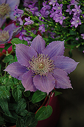 Bijou Clematis (Clematis 'Bijou') at English Gardens