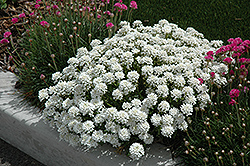 Tahoe Candytuft (Iberis sempervirens 'Tahoe') at English Gardens