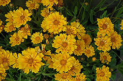 Jethro Tull Tickseed (Coreopsis 'Jethro Tull') at English Gardens