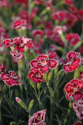 Cranberry Ice Pinks (Dianthus 'Cranberry Ice') at English Gardens