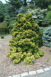 Golden Hinoki Falsecypress (Chamaecyparis obtusa 'Lutea') at English Gardens