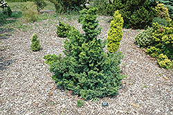 Split Rock Blue Hinoki Falsecypress (Chamaecyparis obtusa 'Split Rock') at English Gardens