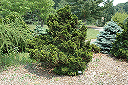 Nana Compacta Hinoki Falsecypress (Chamaecyparis obtusa 'Nana Compacta') at English Gardens