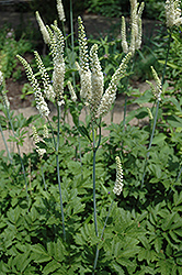 American Bugbane (Cimicifuga racemosa) at English Gardens