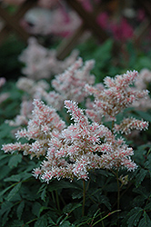 Sugarberry Astilbe (Astilbe 'Sugarberry') at English Gardens