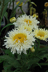 Gold Rush Shasta Daisy (Leucanthemum x superbum 'Gold Rush') at English Gardens