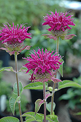 Purple Rooster Beebalm (Monarda 'Purple Rooster') at English Gardens