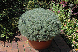 Curry Plant (Helichrysum italicum) at English Gardens