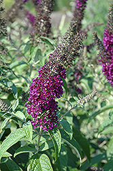 Guinevere Butterfly Bush (Buddleia davidii 'Guinevere') at English Gardens
